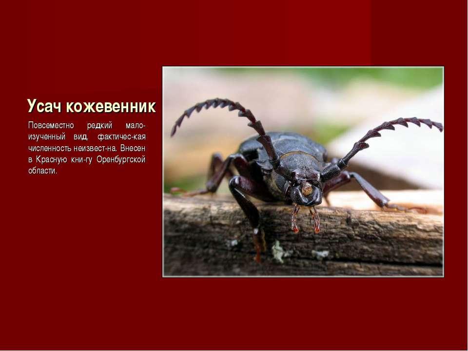 Усач кожевенник Повсеместно редкий мало-изученный вид, фактичес-кая численнос...