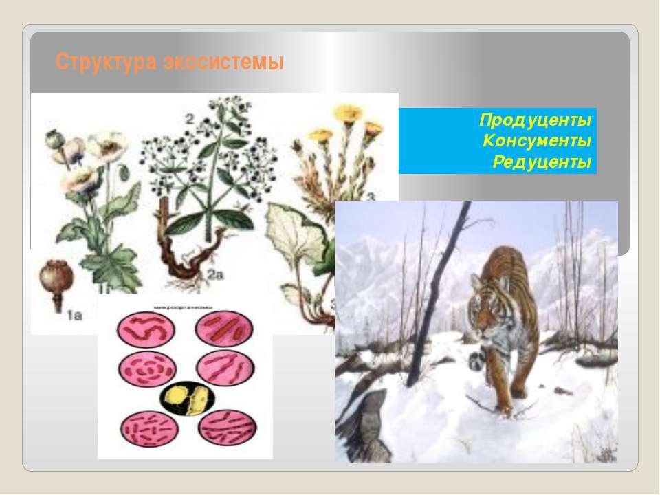 Структура экосистемы Продуценты Консументы Редуценты