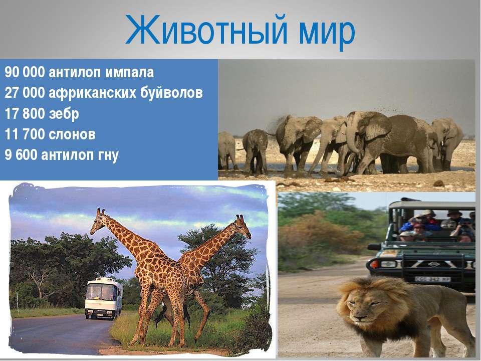 Животный мир 90 000 антилоп импала 27 000 африканских буйволов 17 800 зебр 11...