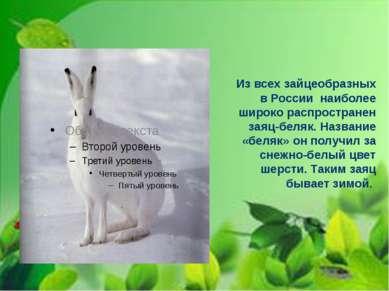 Из всех зайцеобразных в России наиболее широко распространен заяц-беляк. Назв...