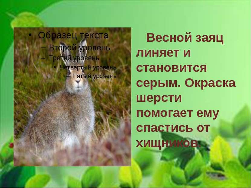 Весной заяц линяет и становится серым. Окраска шерсти помогает ему спастись о...