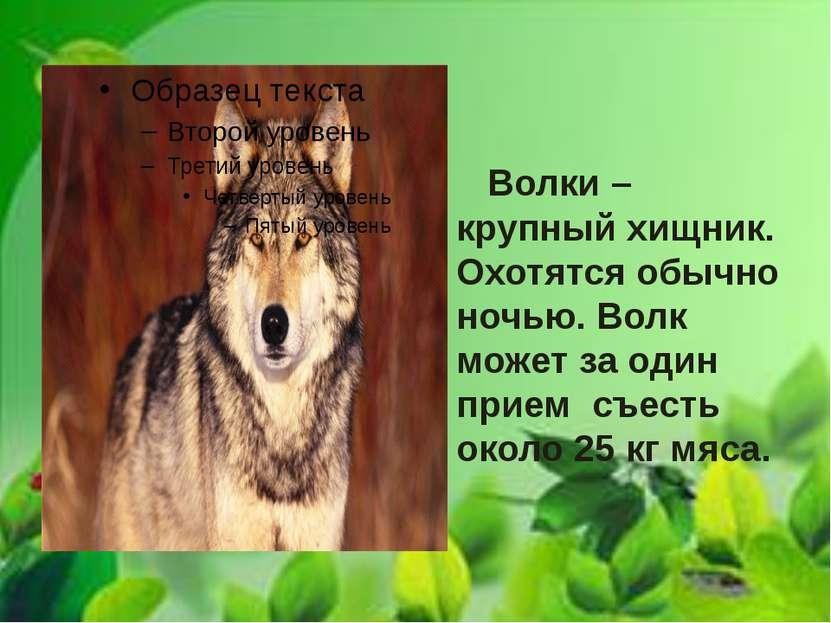 Волки – крупный хищник. Охотятся обычно ночью. Волк может за один прием съест...