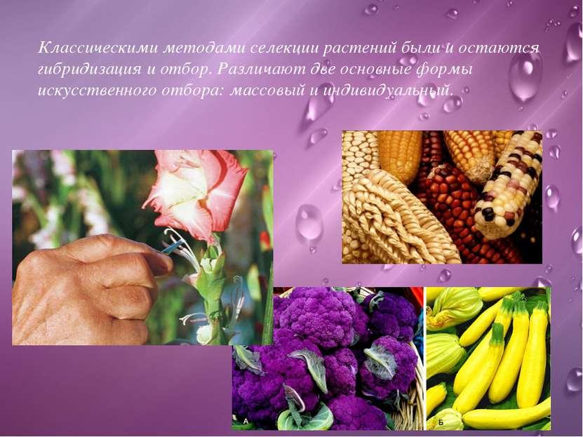 Классическими методами селекции растений были и остаются гибридизация и отбор...