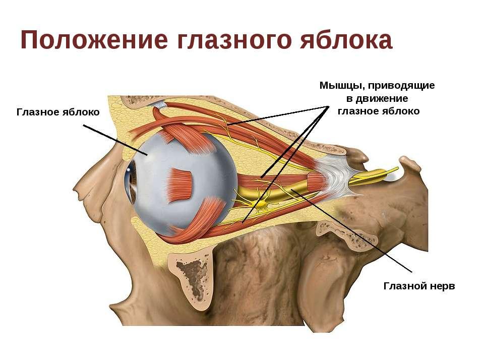 Глазное яблоко Положение глазного яблока Мышцы, приводящие в движение глазное...