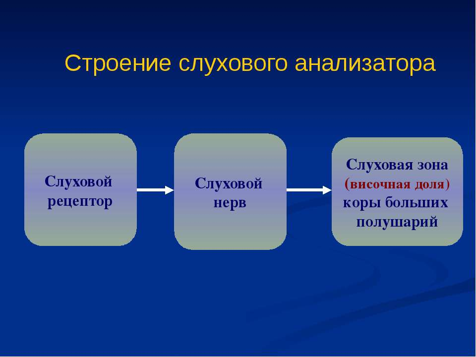 Строение слухового анализатора Слуховой рецептор Слуховой нерв Слуховая зона ...
