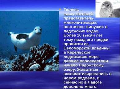 Тюлень - единственный представитель млекопитающих, постоянно живущих в ладожс...