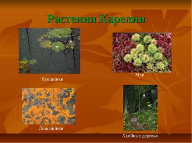 Растения Карелии Мхи Лишайники Кувшинки Хвойные деревья