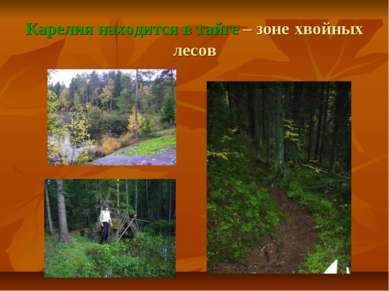 Карелия находится в тайге – зоне хвойных лесов