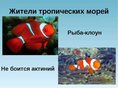 Жители тропических морей Рыба-клоун Не боится актиний