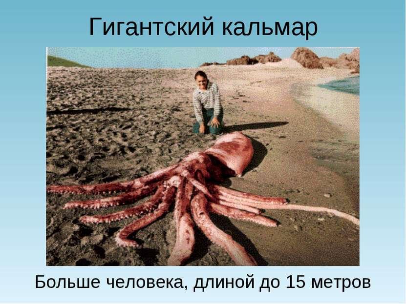 Гигантский кальмар Больше человека, длиной до 15 метров