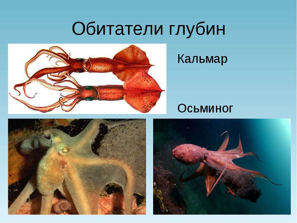 Обитатели глубин Кальмар Осьминог