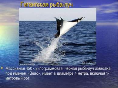 Гигантская рыба-луч Массивная 450 - килограммовая черная рыба-луч известна по...