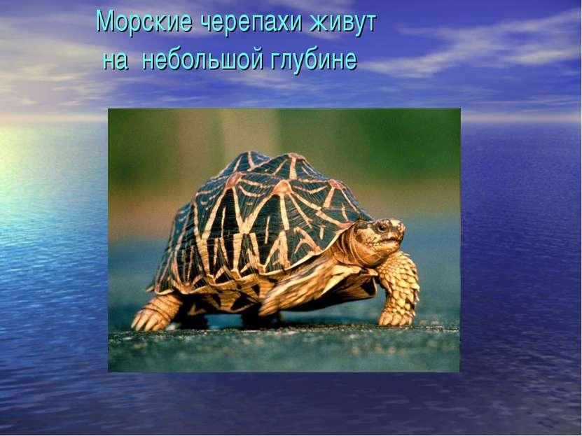 Морские черепахи живут на небольшой глубине