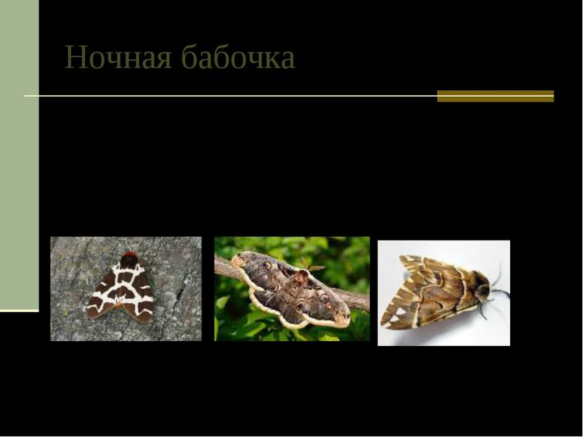 Ночная бабочка У ночных бабочек из семейства медведиц развился генератор ульт...