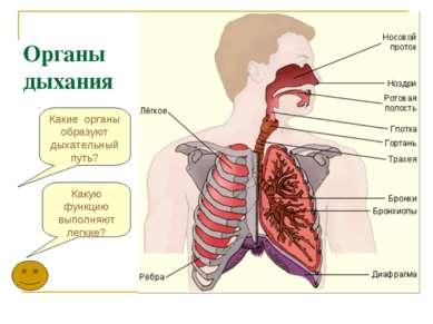 Какие органы образуют дыхательный путь? Органы дыхания Какую функцию выполняю...