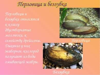 Перловицы и беззубки относятся к классу двустворчатые моллюски, к семейству д...