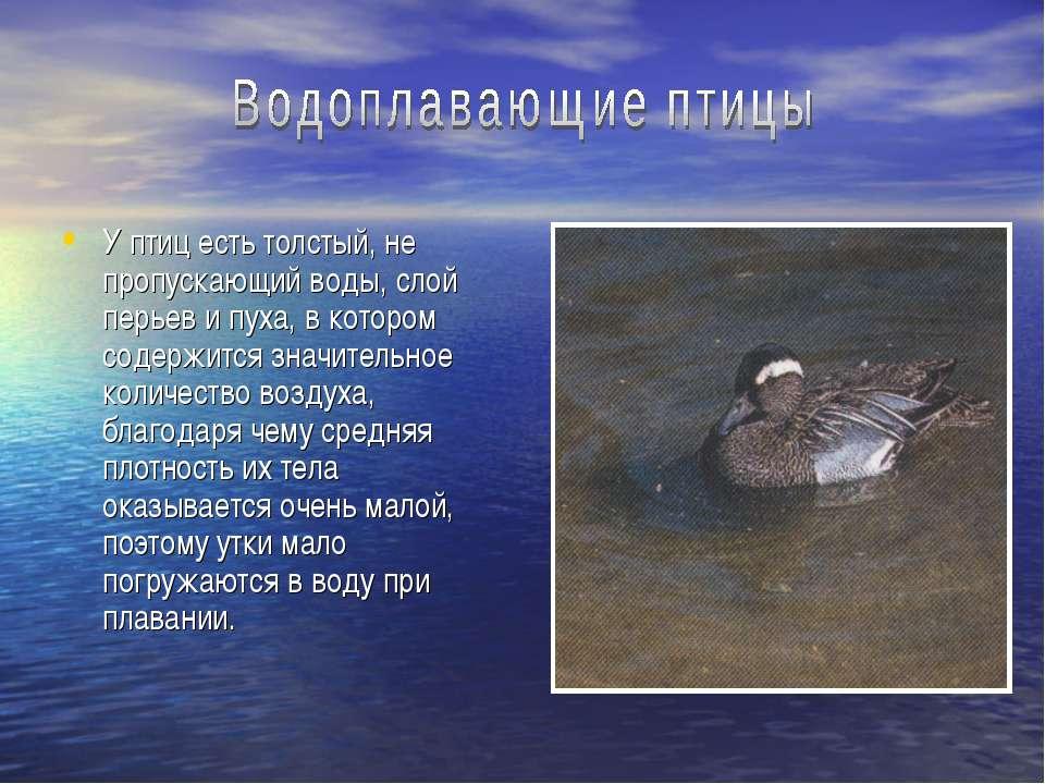 У птиц есть толстый, не пропускающий воды, слой перьев и пуха, в котором соде...