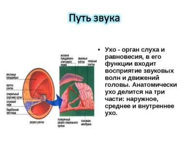Ухо - орган слуха и равновесия, в его функции входит восприятие звуковых волн...