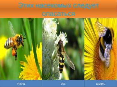 Этих насекомых следует опасаться пчела оса шмель
