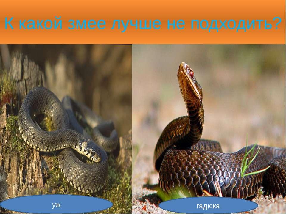К какой змее лучше не подходить? уж гадюка