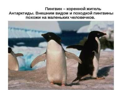 Пингвин – коренной житель Антарктиды. Внешним видом и походкой пингвины похож...
