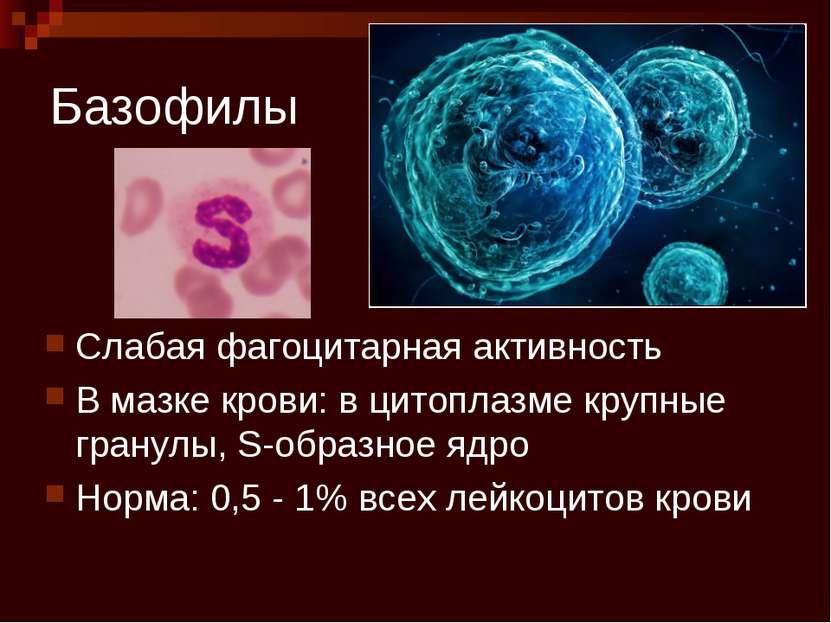 Базофилы Слабая фагоцитарная активность В мазке крови: в цитоплазме крупные г...