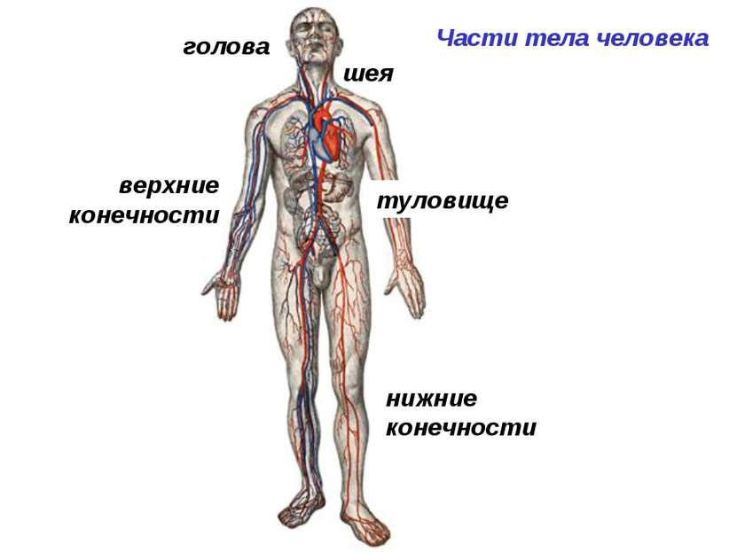 Части тела человека шея туловище верхние конечности нижние конечности голова
