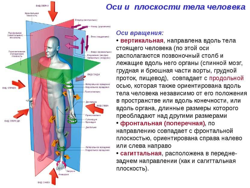 Оси и плоскости тела человека Оси вращения: вертикальная, направлена вдоль те...