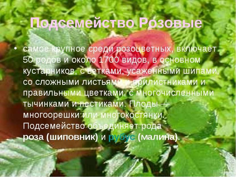 Подсемейство Розовые самое крупное среди розоцветных, включает 50 родов и око...