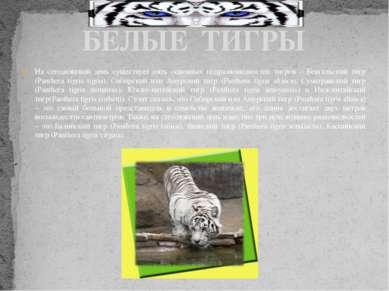 На сегодняшний день существует пять основных подразновидностей тигров – Бенга...