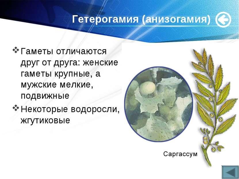 Гетерогамия (анизогамия) Гаметы отличаются друг от друга: женские гаметы круп...