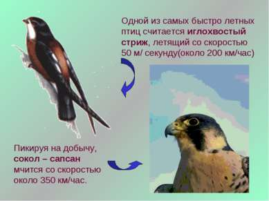 Одной из самых быстро летных птиц считается иглохвостый стриж, летящий со ско...