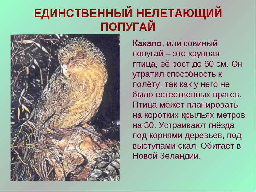 ЕДИНСТВЕННЫЙ НЕЛЕТАЮЩИЙ ПОПУГАЙ Какапо, или совиный попугай – это крупная пти...
