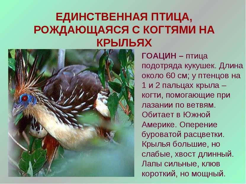 ЕДИНСТВЕННАЯ ПТИЦА, РОЖДАЮЩАЯСЯ С КОГТЯМИ НА КРЫЛЬЯХ ГОАЦИН – птица подотряда...