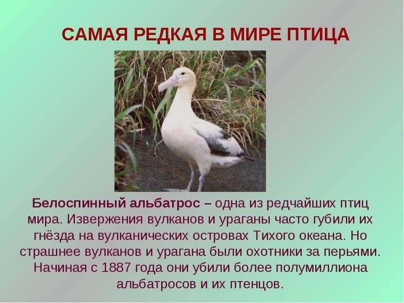 САМАЯ РЕДКАЯ В МИРЕ ПТИЦА Белоспинный альбатрос – одна из редчайших птиц мира...