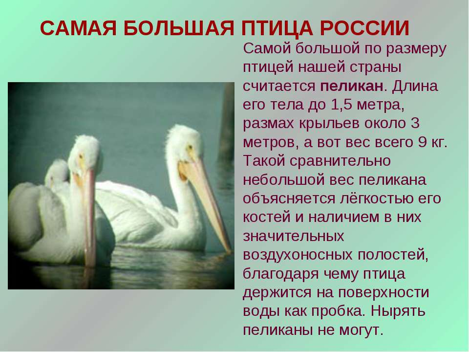 САМАЯ БОЛЬШАЯ ПТИЦА РОССИИ Самой большой по размеру птицей нашей страны счита...