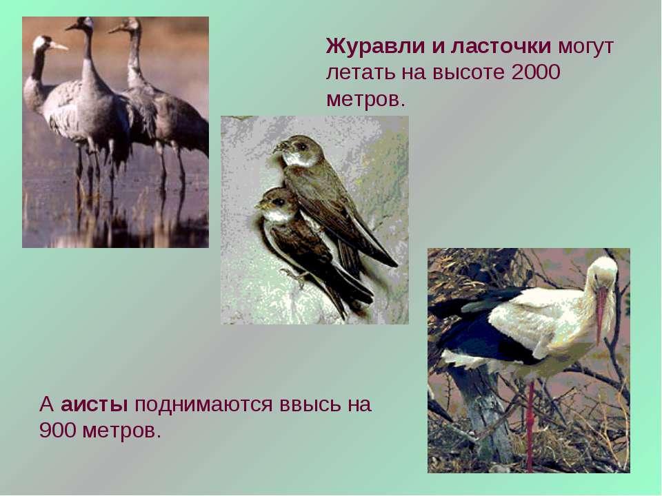 Журавли и ласточки могут летать на высоте 2000 метров. А аисты поднимаются вв...