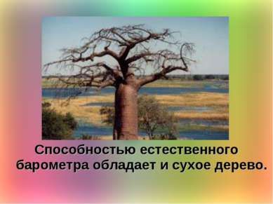 Способностью естественного барометра обладает и сухое дерево.