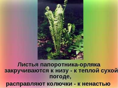 Листья папоротника-орляка закручиваются к низу - к теплой сухой погоде, распр...