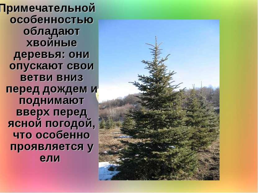 Примечательной особенностью обладают хвойные деревья: они опускают свои ветви...