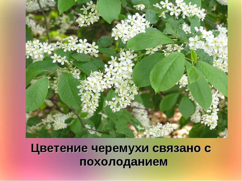 Цветение черемухи связано с похолоданием