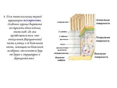 4. Для эпителиальных тканей характерна полярность. Особенно хорошо выражена п...