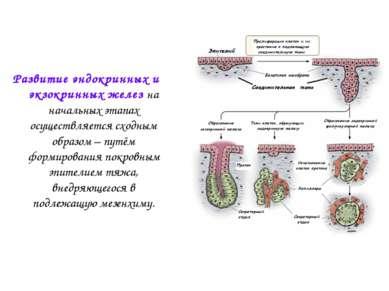 Развитие эндокринных и экзокринных желез на начальных этапах осуществляется с...