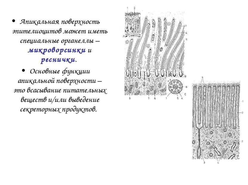 Апикальная поверхность эпителиоцитов может иметь специальные органеллы – микр...