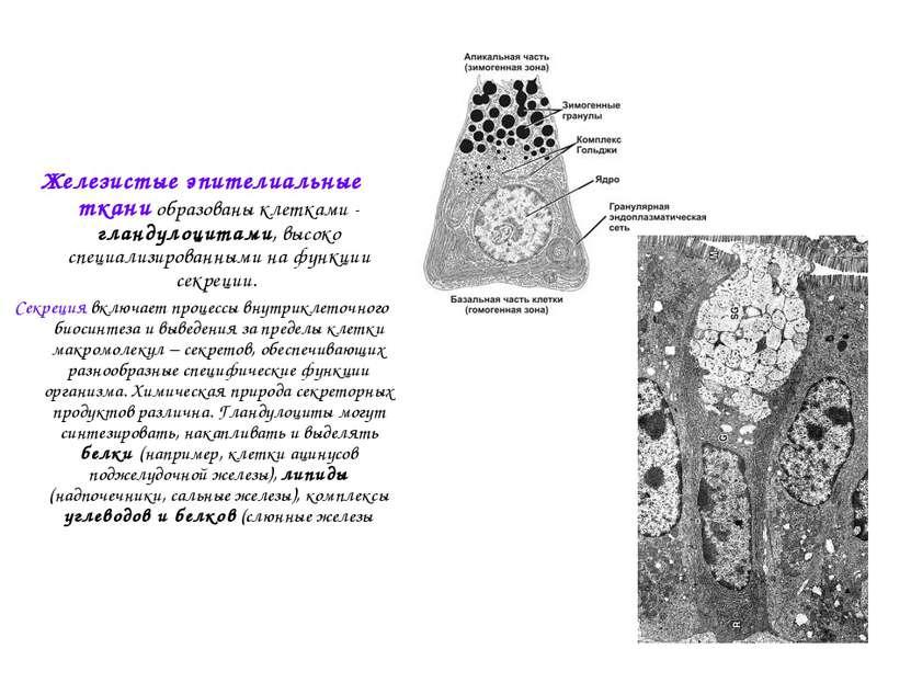 Железистые эпителиальные ткани образованы клетками - гландулоцитами, высоко с...