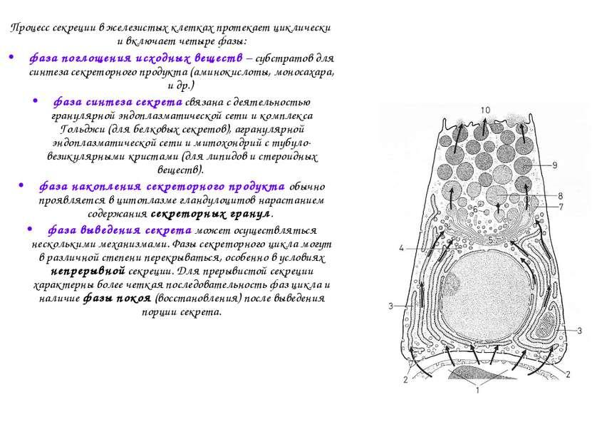 Процесс секреции в железистых клетках протекает циклически и включает четыре ...