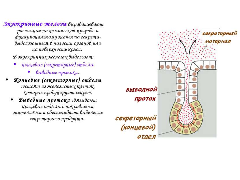 Экзокринные железы вырабатывают различные по химической природе и функциональ...
