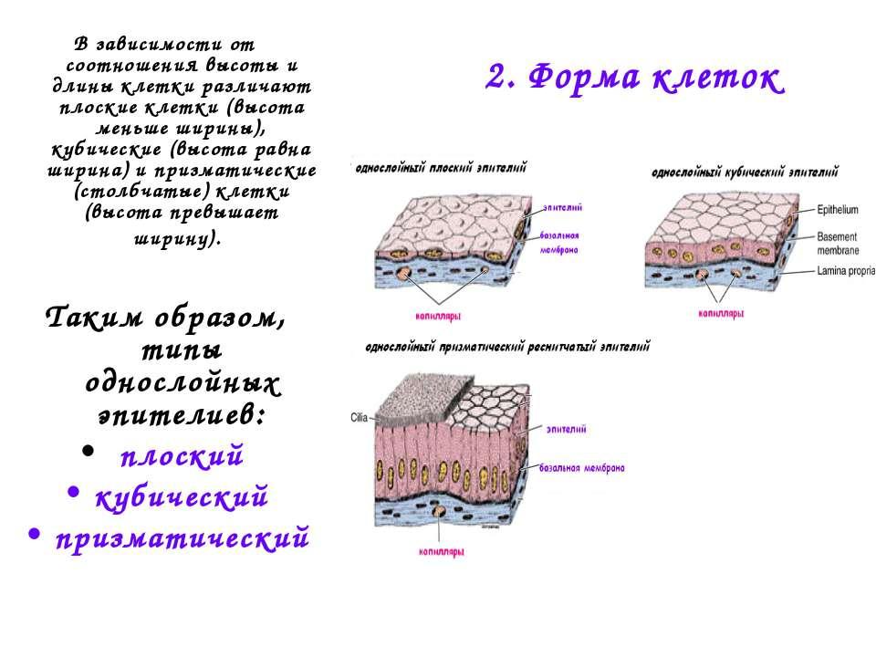2. Форма клеток В зависимости от соотношения высоты и длины клетки различают ...
