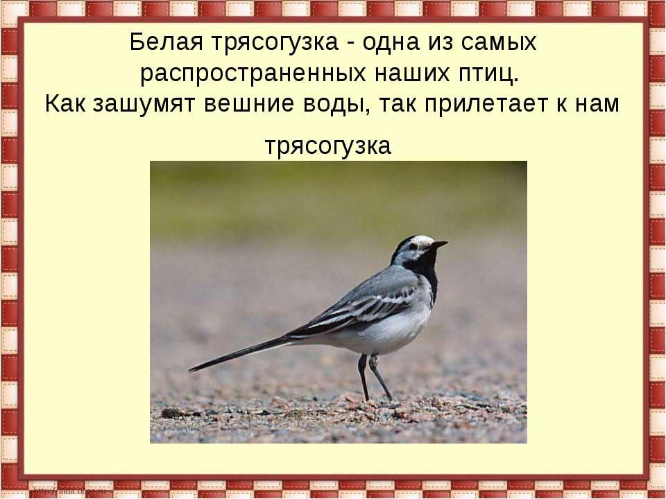Белая трясогузка - одна из самых распространенных наших птиц. Как зашумят веш...