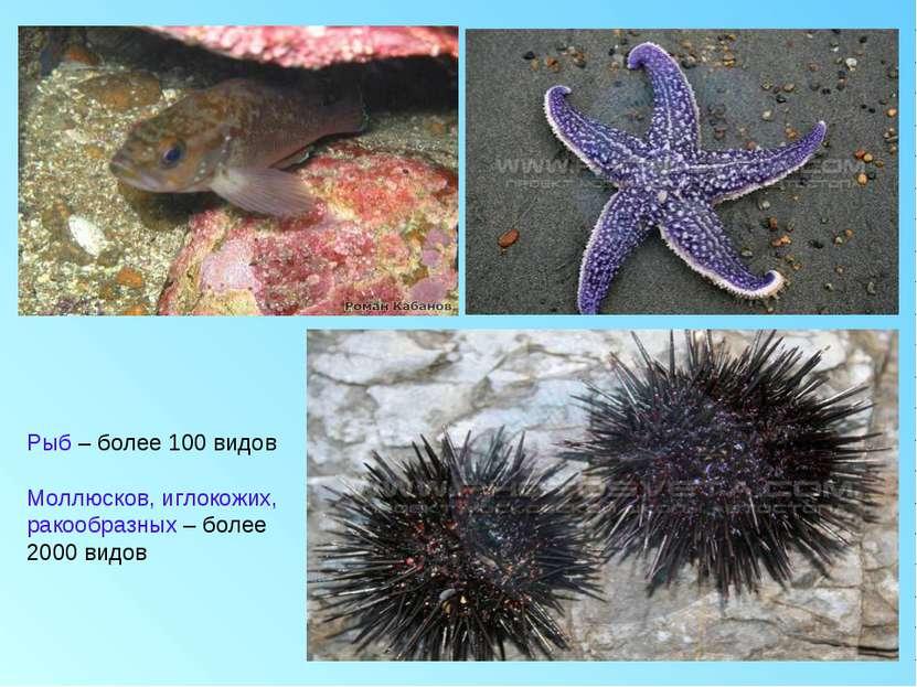 Рыб – более 100 видов Моллюсков, иглокожих, ракообразных – более 2000 видов
